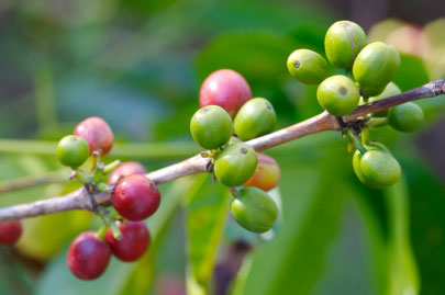 coffee-plant-climate-change